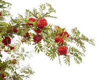 Mountain ash branch Royalty Free Stock Images