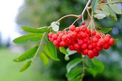 Mountain ash on a branch. Nature, berries, tree branch green Royalty Free Stock Images