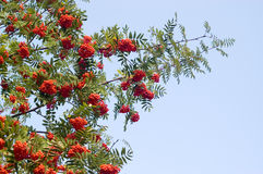 Mountain ash branches. Branches of a mountain ash with red berries against the sky royalty free stock images