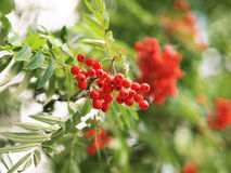 Mountain ash branches Stock Image