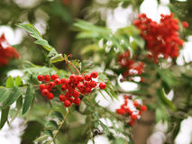 Mountain ash branches Royalty Free Stock Photo