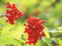 Mountain ash branches. With red berries Stock Photos
