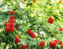 Mountain ash branches Stock Photography