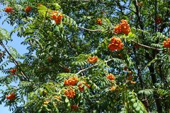 Mountain ash branches with bright orange berries Royalty Free Stock Photography