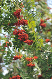 Mountain ash. Branches close up Royalty Free Stock Photo