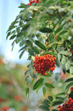 Mountain ash. Branches close up Stock Images