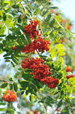 Mountain ash. Branches close up Royalty Free Stock Images