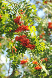 Mountain ash. Branches close up Royalty Free Stock Photos