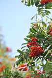 Mountain ash. Branches close up Stock Photos
