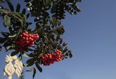 Mountain ash branches with the fruits bright orange. Widespread low-value fruit tree, noticeable for its bright fruit remaining on the branches of the plants Stock Images