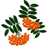 Mountain ash branches set. Royalty Free Stock Photo