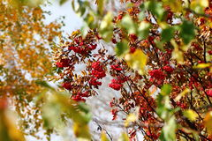 Mountain ash Stock Photography