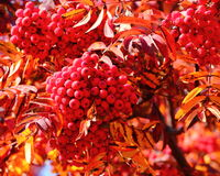 Mountain ash Royalty Free Stock Photography