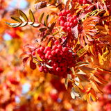 Mountain ash Royalty Free Stock Image