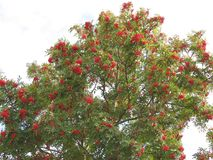 Mountain ash with bunches of berries on branches. Ripe Rowan berries Royalty Free Stock Images