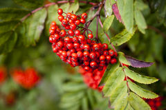 Mountain Ash Stock Image
