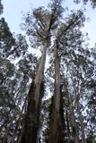 Mountain Ash Eucalyptus 3 - Kalorama, Victoria, Australia. Growing up to 100 metres in height, the lofty branches of the Mountain Ash are a spectacular sight Royalty Free Stock Images