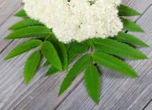 Mountain ash flower Royalty Free Stock Photo