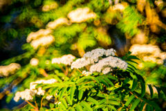 Mountain ash flower in bloom. Sorbus or Mountain ash flower in bloom, sunny spring Stock Photos