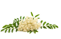 Mountain ash flower Stock Images