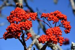 Mountain Ash Fruit Royalty Free Stock Photo