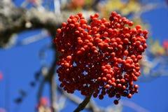 Mountain Ash Fruit Stock Photography