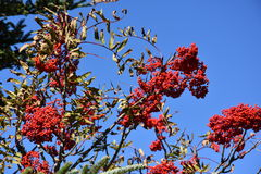 Mountain Ash Fruit Royalty Free Stock Photos