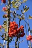 Mountain Ash Fruit Stock Photo