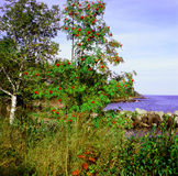 Mountain Ash and Lake Superior Royalty Free Stock Image