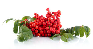 Mountain ash with leaves isolated on white background Royalty Free Stock Photos