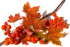 Mountain ash and maple leaf stock photos