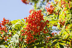 Mountain ash. Photo.  with a lot of red and bright berries. Tree with berries. Red big berries. Green leaves Stock Photography