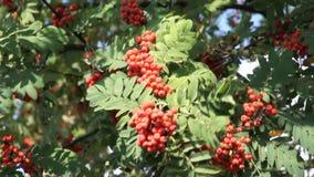 Mountain ash red ordinary garden stock video