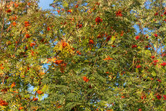 Mountain ash with ripe berries Royalty Free Stock Image