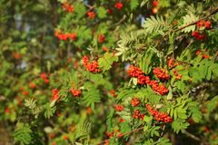 Mountain ash rowan Sorbus aucuparia berries between green leaves, lit by afternoon sun.  royalty free stock photography