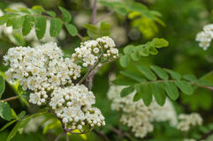 Mountain Ash,Rowan (Sorbus Aucuparia). Blossom mountain Ash,Rowan tree,spring Royalty Free Stock Photos