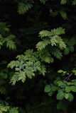 Mountain ash rowan Sorbus leaves on dark background. Close up Stock Photos