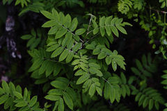 Mountain ash rowan Sorbus leaves on dark background. Close up Royalty Free Stock Image