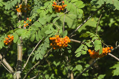 Mountain ash, Rowan Sorbus tree with ripe berries, close-up, selective focus, shallow DOF.  Stock Photo
