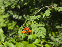Mountain ash Rowan Sorbus tree with ripe berries, close-up, selective focus, shallow DOF.  Royalty Free Stock Image
