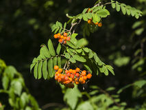 Mountain ash Rowan, Sorbus tree with ripe berries, close-up, selective focus, shallow DOF.  Royalty Free Stock Photo