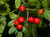 Mountain ash Rowan, Sorbus tree with ripe berries, close-up, selective focus, shallow DOF.  Royalty Free Stock Image