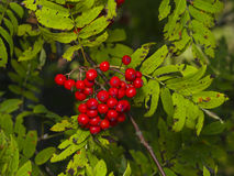 Mountain ash or Rowan, Sorbus tree with ripe berries, close-up, selective focus, shallow DOF.  Royalty Free Stock Photos