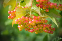 Mountain ash. Rowan-tree. The fruits of mountain ash Stock Images