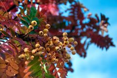 The mountain ash. Rowan tree or sorbus with yellow berries in autumn royalty free stock images