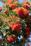 Mountain Ash, rowanberries. Rowan on blue sky. Sorbus aucuparia Royalty Free Stock Image
