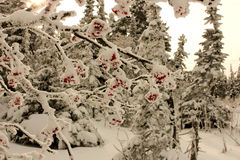 Mountain ash in snow. Somewhere in the wood of Siberia. Winter. A mountain ash in snow Royalty Free Stock Image
