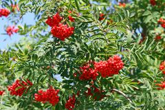 Mountain ash Sorbus Bush with large red berries but poisonous Royalty Free Stock Photography