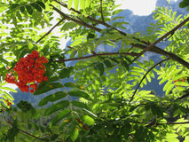 Mountain ash Sorbus Bush with red berries and Dolomites background. Fie allo Sciliar, South Tyrol, Italy Stock Photo