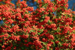 Mountain ash Sorbus tree. Close up Stock Image